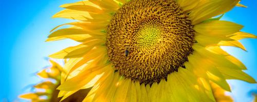 Die Sonnenblumen ringen um Aufmerksamkeit